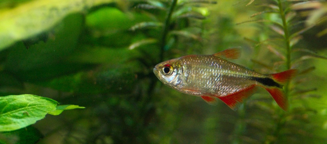 Buenos Aires Tetra - The Planted Tank Forum